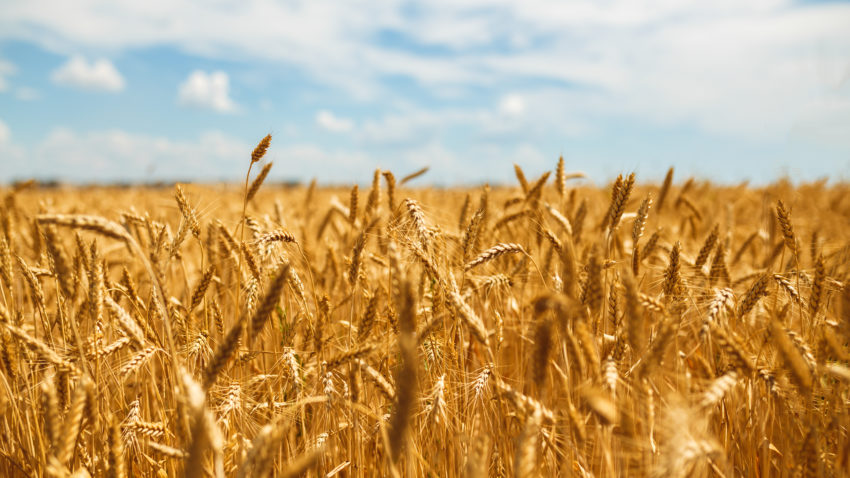 wheat field shutterstock_597149606-850x478